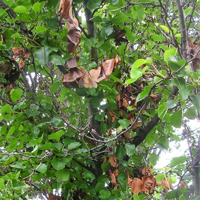 Learn why your Bradford pear leaves are turning brown and falling off and how to treat fire blight on ornamental pears.
