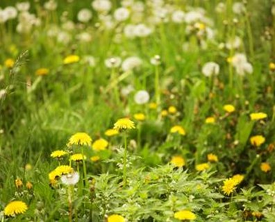 If your lawn is all weeds, like this, try these tips to get rid of weeds permanently.