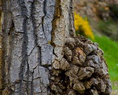 Does your tree trunk or tree branches have bumps on them? Learn more about burls on trees including when they should or shouldn't be a cause for concern.