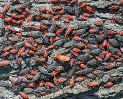 Learn the signs of a boxelder bug infestation and how to control it.