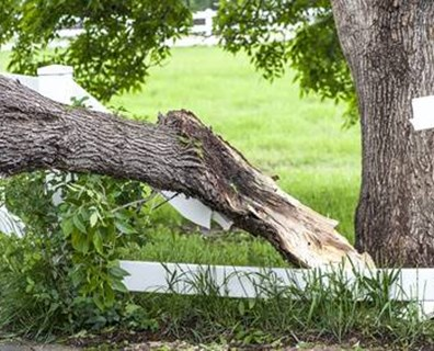 Without warning, large, mature trees that appear to be in good health lose limbs. Learn more about sudden branch drop syndrome.