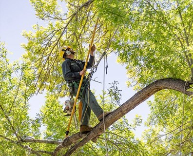 Wondering what pruning is? Well, here is a Davey arborist trimming, or pruning a tall green tree.