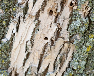 What insect or bird is making small, medium or large holes in your tree trunk? It could be a borer, clearwing moth or woodpecker!