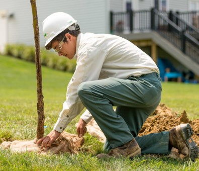 Remove the burlap and the top-third of the wire cage when planting trees, like this Davey arborist.