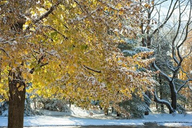 How do trees prepare for winter? Well, like this tree with fall color and snow, they start by dropping leaves.