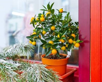 Storing Potted Trees Over Winter