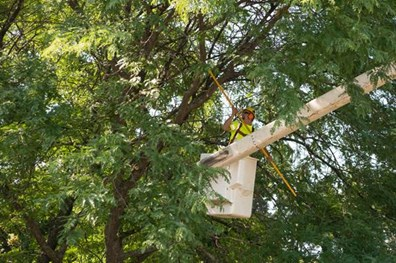 Learn the cost of tree trimming, branch removal and pruning.