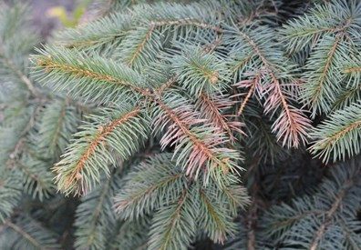 See brown needles falling off your spruce tree? it could be Rhizosphaera needle cast.