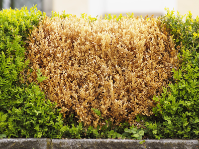 Why your shrubs are turning brown and dying