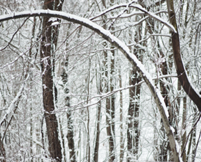 If your evergreen trees are bent over in snow, what should you do?