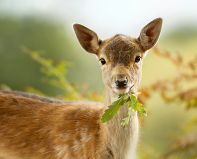 Deer eating leaf