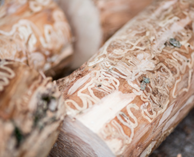 Featured image for Are All Ash Trees Susceptible to Emerald Ash Borer (EAB)?