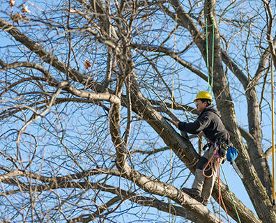 Trees are like humans. They are sensitive to changes in temperature and daylight patterns. So, how does that affect when they enter the dormant season?