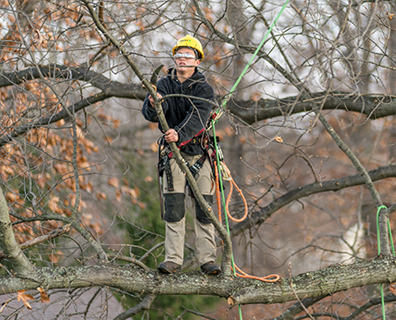 The dormant season is an ideal time to promote current tree health and future tree growth with pruning.