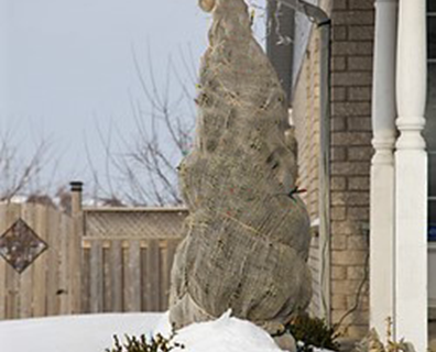 Here are the trees you should wrap in burlap in winter, like this evergreen.