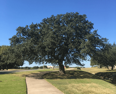 best time to prune oak trees