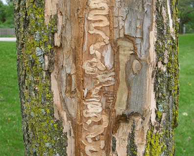 Featured image for Emerald Ash Borer Facts: What Does the Emerald Ash Borer Eat?