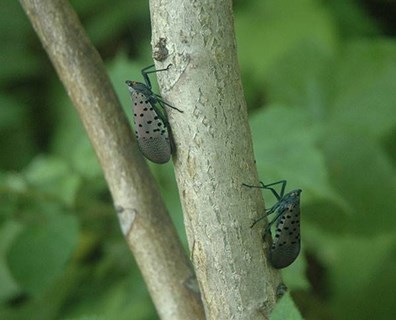 Featured image for Spotted Lanternfly (SLF) Alert: What You Need to Know