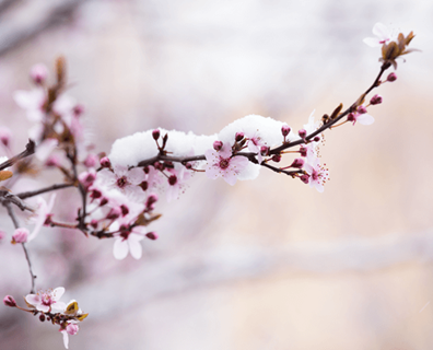 Featured image for How to Save Fruit Tree Blossoms and Fruit from a Late Freeze