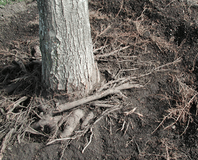 Featured image for It Looks Like The Roots Are Strangling My Tree
