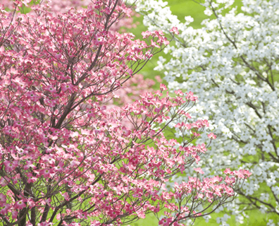 Featured image for Do I have a Flowering Dogwood Tree?