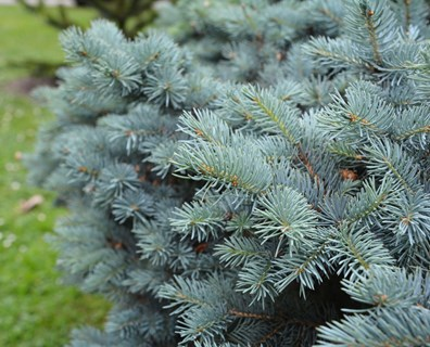 Featured image for Do I Have a Blue Spruce Tree?