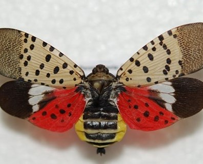 Featured image for How to Get Rid of the Spotted Lanternfly
