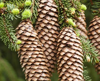 Featured image for Do I Have a Norway Spruce?