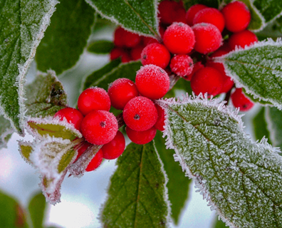 Featured image for Do I Have a Winterberry Holly?