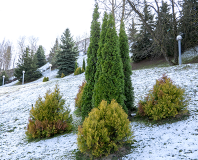 Featured image for Why Do Evergreens Stay Green All Year?