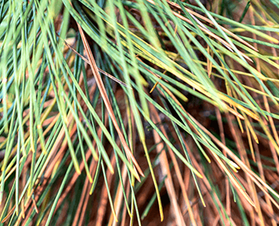 Featured image for Diplodia Tip Blight on Pines