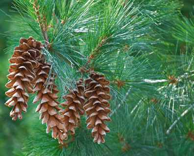 Featured image for Do I Have a White Pine?