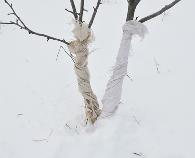 Featured image for How To Protect Newly Planted Trees in Winter