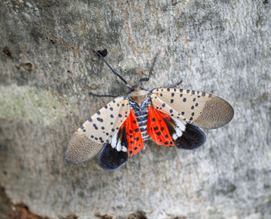 Featured image for Do Spotted Lanternflies Die in Winter?