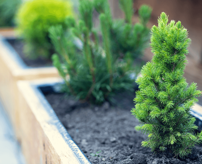 Featured image for Can You Grow Evergreens in a Container?