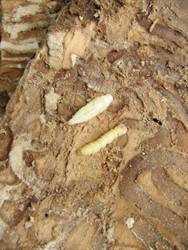 eab pupa and larvae