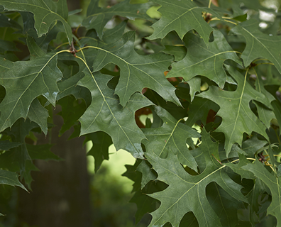 Featured image for Do I Have a Pin Oak?