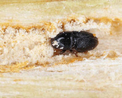 Featured image for Tree Pest (Insect): Black Twig Borer
