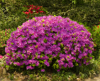 Featured image for How to Use Dwarf Evergreens for Landscaping