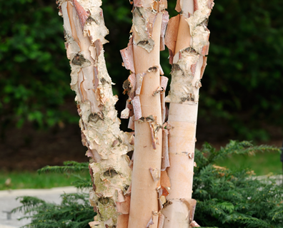 Featured image for Do I Have a River Birch Tree?