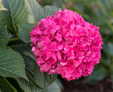 Featured image for Caring for Hydrangeas Outdoors: Tips on Planting & Growing