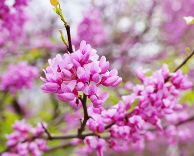 Featured image for Tree Identification Guide: How to Identify an Eastern Redbud Tree