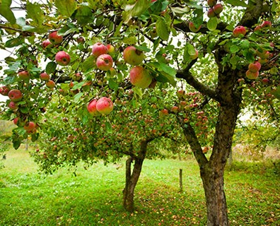 Featured image for Guide to Transplanting Fruit Trees
