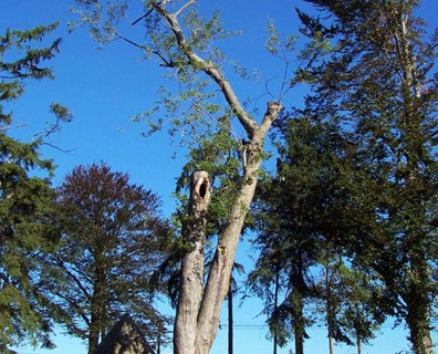 Learn a few common causes for leaning trees – and see if the tree can be saved or straightened.