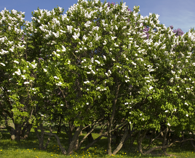 Featured image for Tree Identification Guide: How to Identify a Japanese Lilac Tree