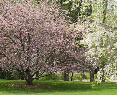 Featured image for Why You Should Fertilize Flowering Trees?