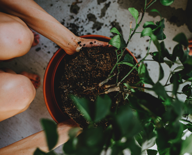 Featured image for How to Refresh Potted Plants by Changing Soil