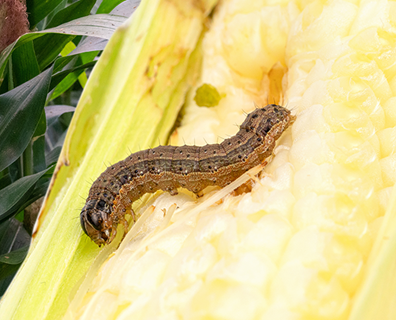 Featured image for What's Destroying My Lawn: Fall Armyworm Damage & Control