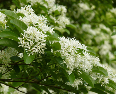 Featured image for Tree Identification Guide: How to Identify a Fringe Tree