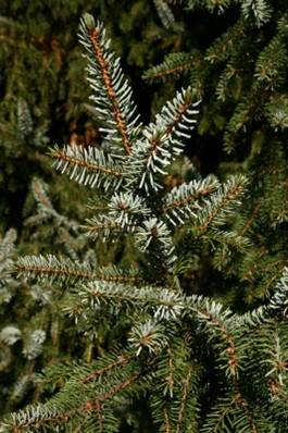 pine up close - freedigitalphotos